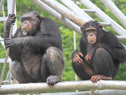 肉食 チンパンジー